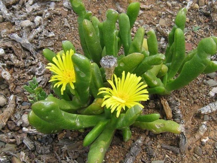 Piante e fiori di Glottiphyllum