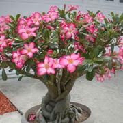 Esemplari di rosa del deserto in vaso