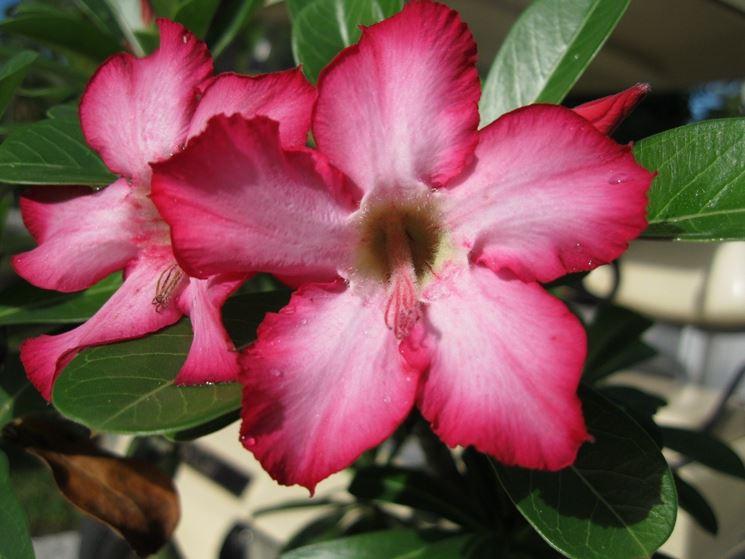 Un bellissimo fiore di rosa del deserto