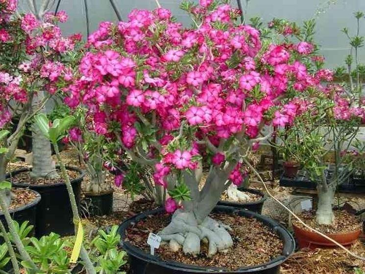 Un esemplare adulto di rosa del deserto