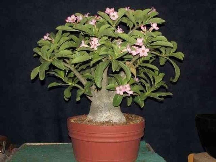 Un esempio di rosa del deserto nella varietà arabicum