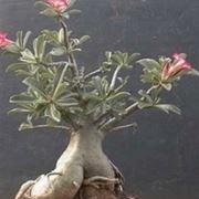 rosa del deserto pianta