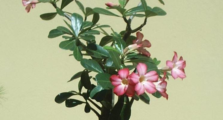 Regalate una rosa del deserto non fiorita ha chi soffre per amore