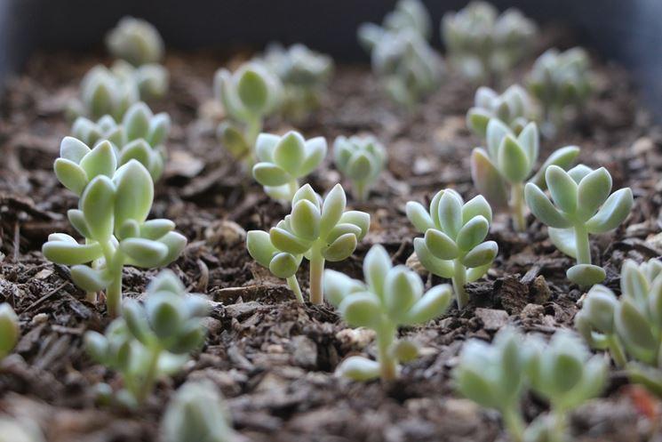 Germogli di piante grasse