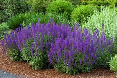 Salvia x sylvestris