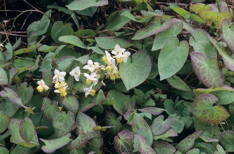 10 fiori perenni per l 39 ombra piante perenni fiori for Fiori per giardino perenni