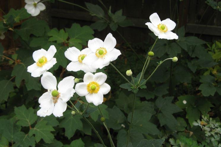 Anemone hybrida