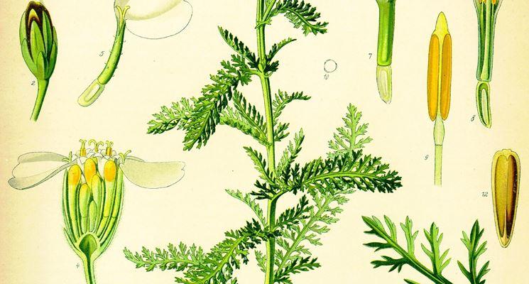 Le caratteristiche della pianta