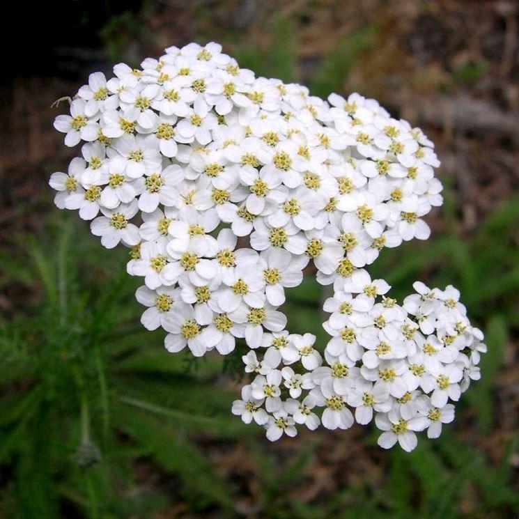 L�achillea millefolium