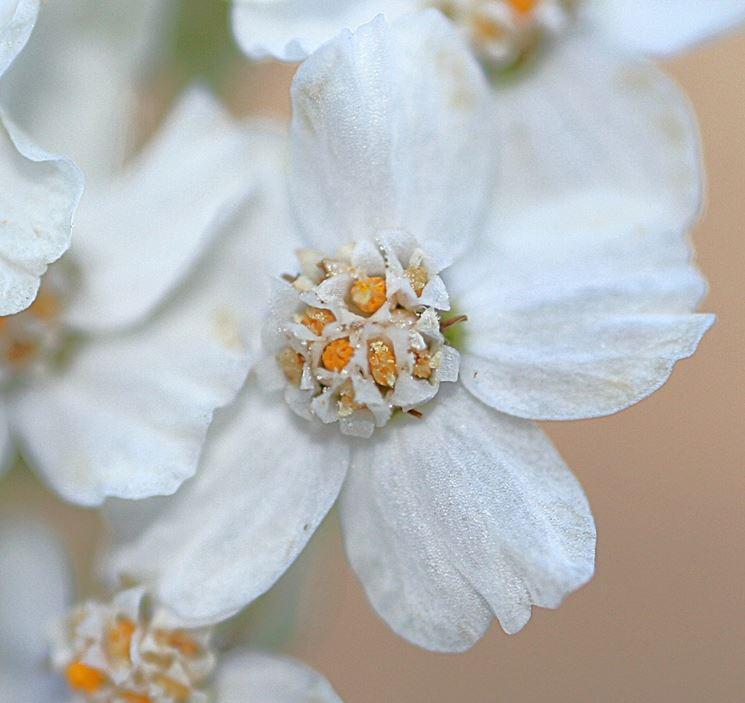 Un fiore dell'achillea millefolium