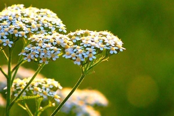 Achillea piante perenni achillea giardino for Piante aromatiche perenni