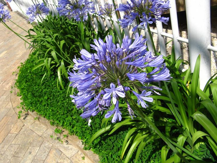 Agapanthus tipologie