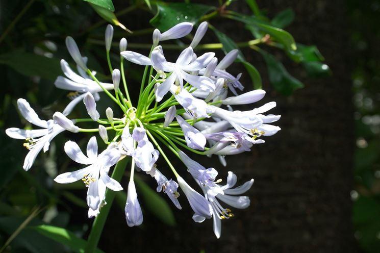 Agapanthus fiori bianchi