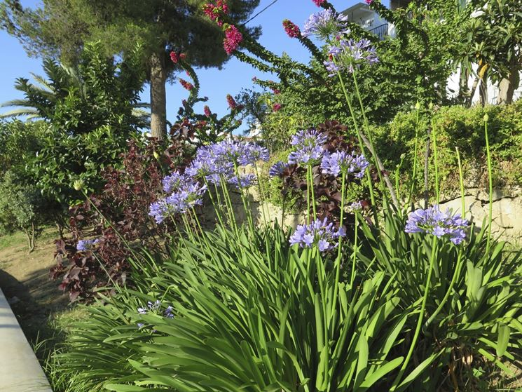 Coltivazione agapanthus