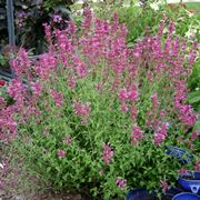 Agastache fiori viola