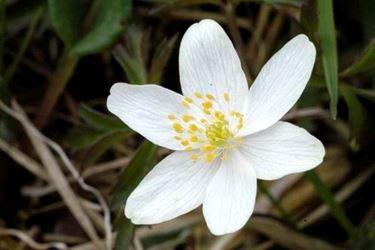 Fiore di Anemone nemorosa