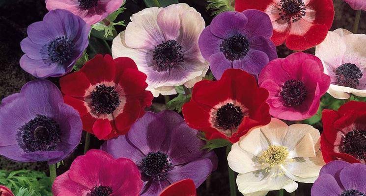 anemone colorato