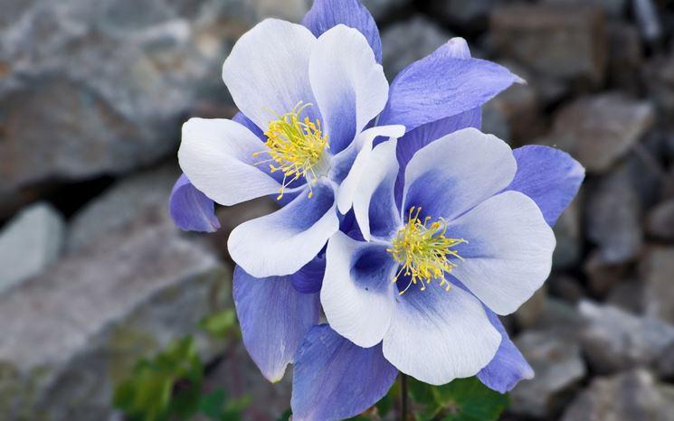 Fiore della pianta di Aquilegia caerulea