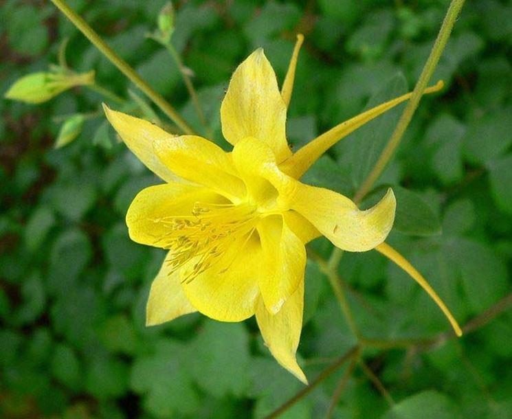 Fiore di Aquilegia chrysantha
