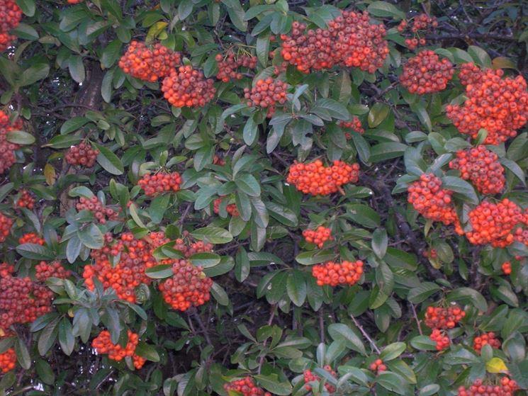 Arbusti nani sempreverdi da giardino 12 arbusti ideali per la coltivazione in ombra guida - Arbusti sempreverdi da giardino ...