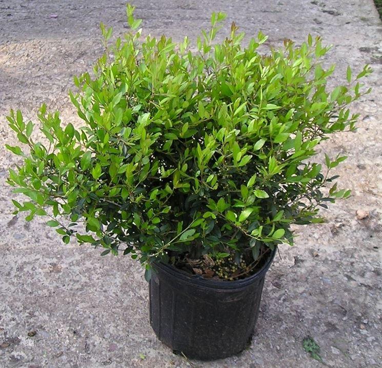 Arbusti sempreverdi piante perenni piante arbusti for Piante verdi perenni da giardino