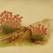 Illustrazione botanica di una varietà di Armeria
