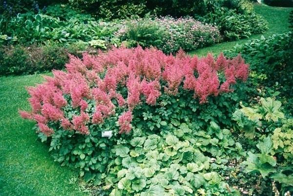 Astilbe piante perenni astilbe giardino for Bakker piante perenni