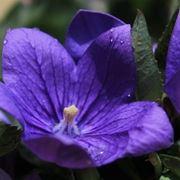 il fiore di campanula perenne