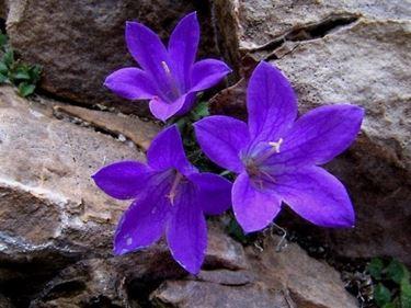 campanula perenne fiorita