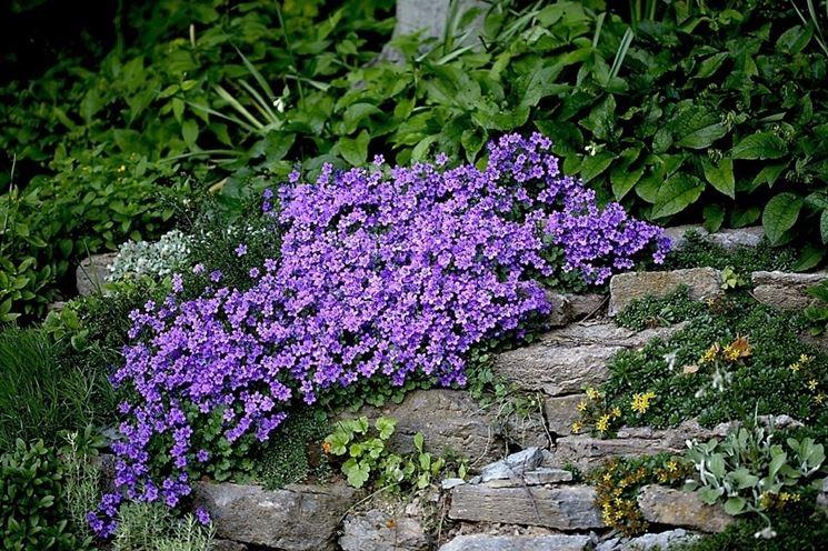 Pianta in fiore di Campanula portenschlagiana