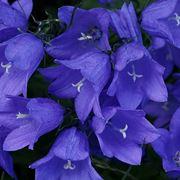 Campanule fiore