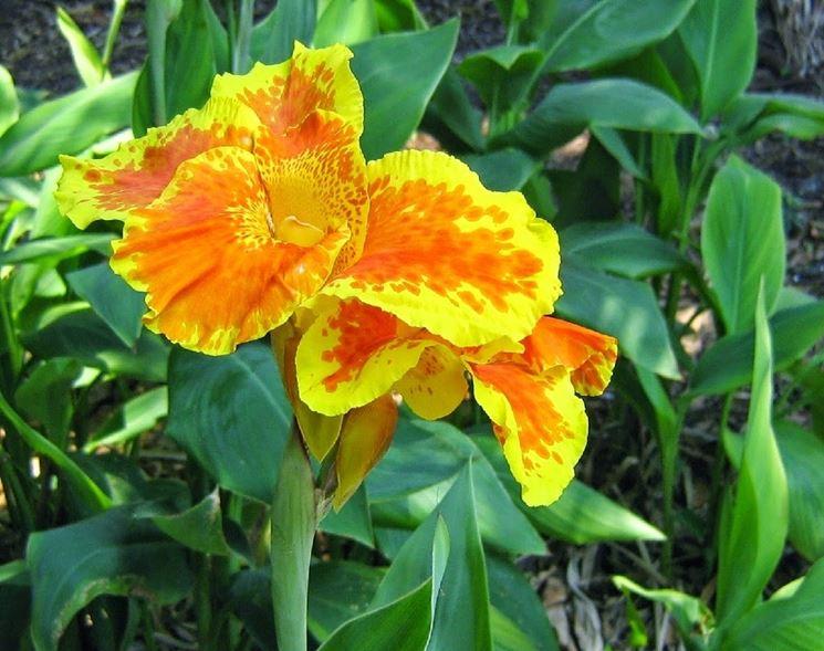 Cannacoro fiore
