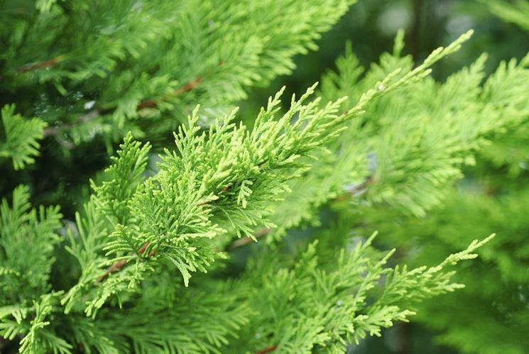 Foglie piante perenni