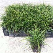 Piantine convallaria japonica nana