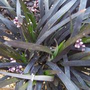 Pinata convallaria japonica
