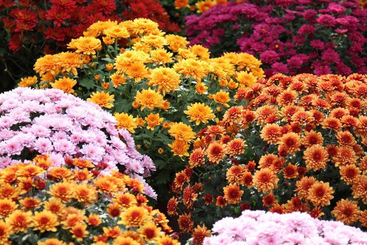 coltivare crisantemi