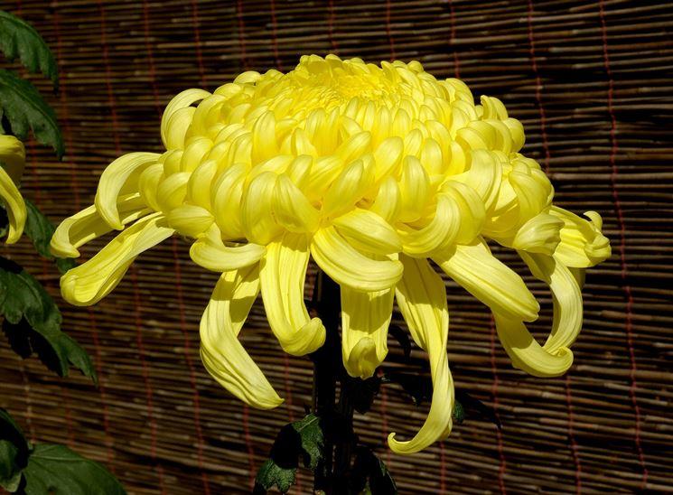 crisantemo giapponese