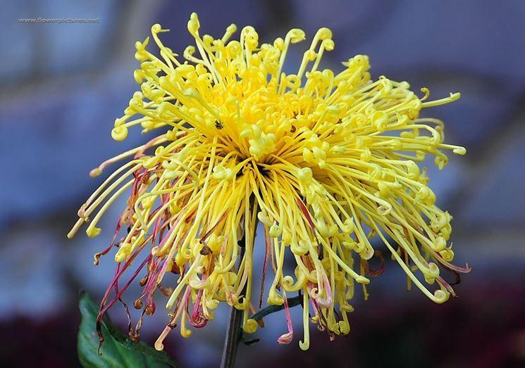 crisantemi varie specie