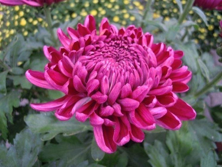 crisantemo giapponese rosa
