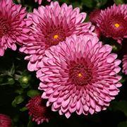 fiori crisantemo