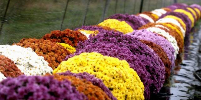 <h6>Crisantemo</h6>Il crisantemo � il fiore che si regala in occasioni di lutto, ma � colorato e vivace, a testimoniare il continuare della vita e della vitalit�.