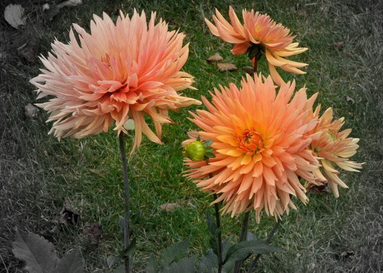 Fiore dalia