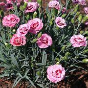 Dianthus fioriti