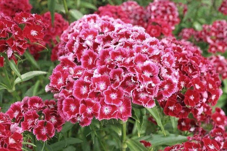 Varietà di dianthus fioriti