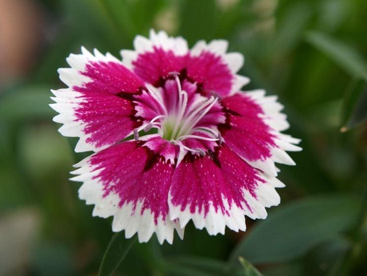 Fiore di dianthus