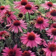 echinacea pianta