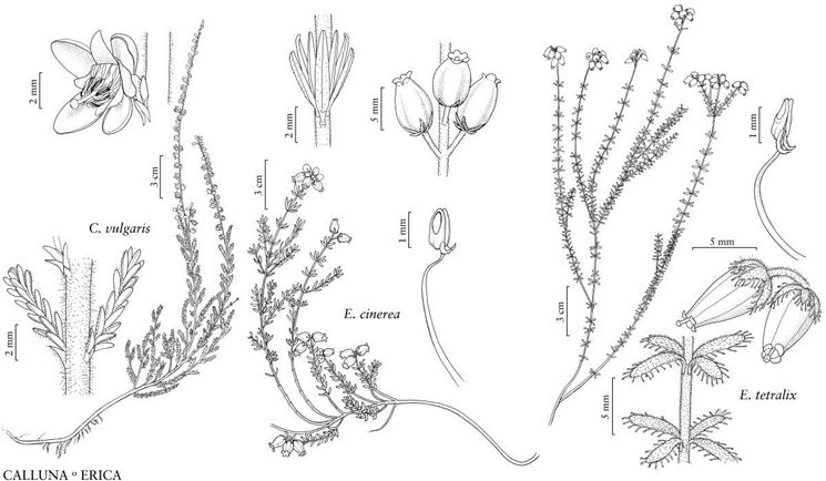 Illustrazione botanica di diverse specie di Ericaceae, tra le quali la Calluna vulgaris