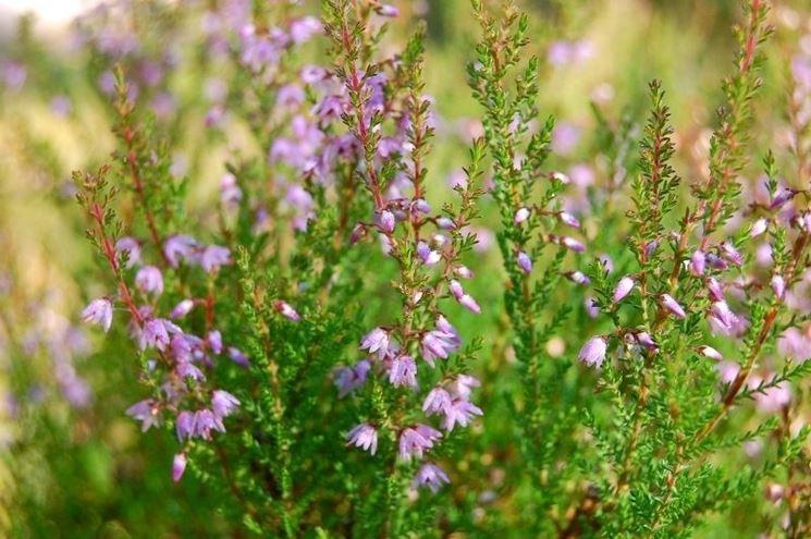 La delicata fioritura dell'erica calluna