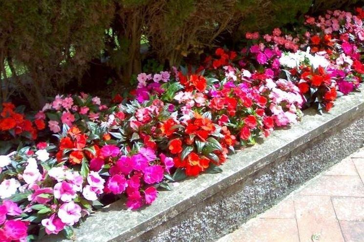 Fiori da bordura piante perenni fiori da bordura for Fiori sempreverdi da giardino