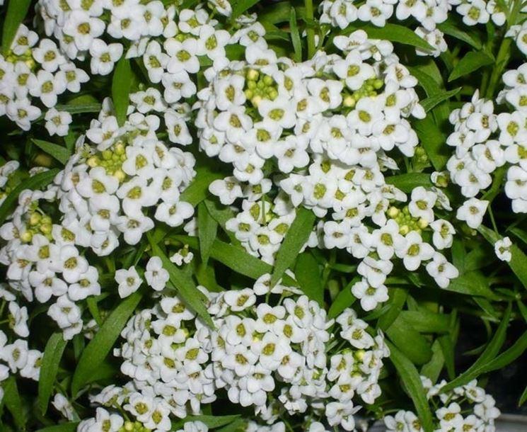 fiori da giardino perenni piante perenni giardino